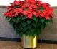 Цветущие комнатные растения – предпочтение долгожителям!